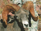 Desert Big Horn